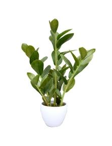 Designer Plants 60cm Artificial Potted Zanzibar